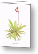 Wall Art Drawings Greeting Cards - Lance Leaved Sundew Greeting Card by Scott Bennett