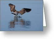 Seagull Photo Greeting Cards - Landing Action Greeting Card by Karol  Livote