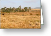 Graze Photo Greeting Cards - Landscape With Cows Grazing In The Field . 7D9957 Greeting Card by Wingsdomain Art and Photography