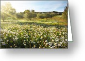 Sunshine Daisy Greeting Cards - Landscape with Daisies Greeting Card by Carlos Caetano
