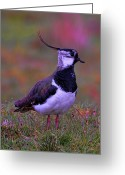 Lapwing Photo Greeting Cards - Lapwing Greeting Card by Alex Hardie