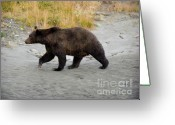 American Brown Bear Greeting Cards - Large Brown Bear Greeting Card by Dora Miller