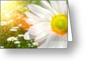 Aromatherapy Greeting Cards - Large daisy in a sunlit field of flowers Greeting Card by Sandra Cunningham