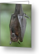 Threatened Species Greeting Cards - Large Flying Fox Pteropus Vampyrus Greeting Card by Cyril Ruoso
