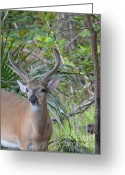 Florida Key Deer Greeting Cards - Large Male Key Deer Greeting Card by Carol McGunagle