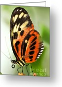 Stripes Greeting Cards - Large tiger butterfly Greeting Card by Elena Elisseeva