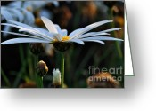 White Daisies Greeting Cards - Last Glimpse of Sunshine Greeting Card by Kaye Menner