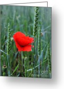 Flower Blossom Greeting Cards - Last Poppy Greeting Card by Jutta Maria Pusl