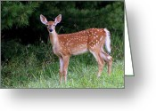 Fawns Greeting Cards - Late Summer Fawn Greeting Card by Tam Graff