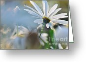 Sunshine Daisy Greeting Cards - Late Sunshine on Daisies Greeting Card by Kaye Menner