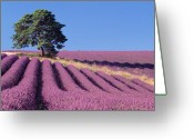 South France Greeting Cards - Lavender and Pine Tree Greeting Card by David Nunuk