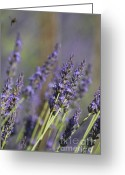 Pink And Purple Greeting Cards - Lavender and the Bee Greeting Card by AdSpice Studios