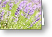 Aromatherapy Greeting Cards - Lavender blooming in a garden Greeting Card by Elena Elisseeva