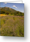 Southern Oregon Photo Greeting Cards - Lavender Field in the Applegate Greeting Card by Mick Anderson