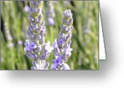 Floral Greeting Cards - Lavender Flowers Greeting Card by Patricia  Sanders