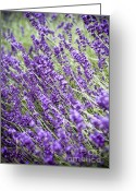 Warmth Greeting Cards - Lavender Greeting Card by Frank Tschakert