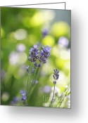 Essential Greeting Cards - Lavender Garden Greeting Card by Frank Tschakert