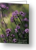 Artography Greeting Cards - Lavender Garden III Greeting Card by Jayne Logan