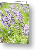 Lavender Greeting Cards - Lavender in sunshine Greeting Card by Elena Elisseeva