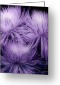 Blossom Photo Greeting Cards - Lavender Mums Greeting Card by Tom Mc Nemar