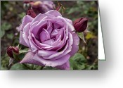 Golden Gate Park Greeting Cards - Lavender Rose Greeting Card by Anthony Citro