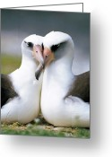 Courting Greeting Cards - Laysan Albatross Phoebastria Greeting Card by Tui De Roy