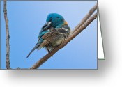 Bison Range Greeting Cards - Lazuli Bunting after a bath Greeting Card by Merle Ann Loman