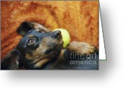 Lazy Dogs Greeting Cards - Lazy  Daschund Greeting Card by Angel  Tarantella
