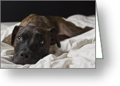 Pit Bull Greeting Cards - Lazy Days Greeting Card by Drew Castelhano