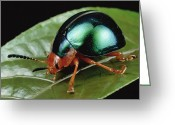 Iridescent Greeting Cards - Leaf Beetle from South Africa Greeting Card by Mark Moffett