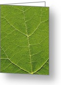 Vinifera Greeting Cards - Leaf Veins Greeting Card by Alan Sirulnikoff