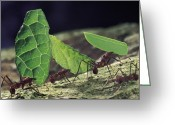 Four Animals Greeting Cards - Leafcutter Ant Atta Cephalotes Workers Greeting Card by Mark Moffett