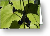 Vinifera Greeting Cards - Leaves Of Wine Grape Greeting Card by Michal Boubin