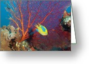 Saltwater Fish Greeting Cards - Lemon Damsel (pomacentrus Moluccensis) And Gorgonian Sea Fan Greeting Card by Rene Frederick