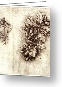 Vinci Greeting Cards - Leonardo Da Vincis Oak Leaves And Acorns Greeting Card by Sheila Terry