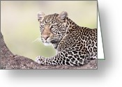 African Cats Greeting Cards - Leopard in Tree Greeting Card by Richard Garvey-Williams