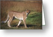 Leopard Greeting Cards - Leopard Greeting Card by John Foxx