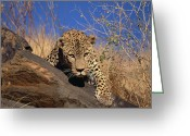 African Animals Greeting Cards - Leopard Panthera Pardus Climbing Greeting Card by Konrad Wothe