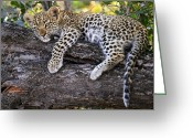 Carnivores Greeting Cards - Leopard Panthera Pardus Cub Resting Greeting Card by Sergey Gorshkov