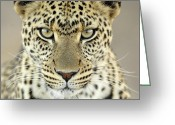 African Animals Greeting Cards - Leopard Panthera Pardus Female Greeting Card by Martin Van Lokven