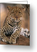 Maasai Mara Greeting Cards - Leopard Panthera Pardus, Masai Mara Greeting Card by Anup Shah