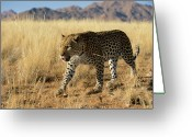 Carnivores Greeting Cards - Leopard Panthera Pardus Walking, Africa Greeting Card by Winfried Wisniewski