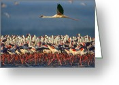 African Animals Greeting Cards - Lesser Flamingo Flying Over Flock Lake Greeting Card by Tim Fitzharris