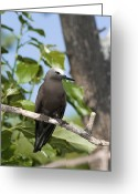 Tern Greeting Cards - Lesser Noddy In A Tree Greeting Card by Tony Camacho