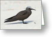 Tern Greeting Cards - Lesser Noddy Greeting Card by Peter Chadwick