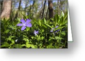 Vinca Flowers Greeting Cards - Lesser Periwinkle Vinca Minor Flowers Greeting Card by Konrad Wothe