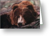 Kodiak Painting Greeting Cards - Let Sleeping Bears Lie Greeting Card by Frank  Bingo