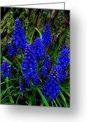 Grape Macro Digital Art Greeting Cards - Lichen Some Grape Hyacinths Greeting Card by Beth Akerman