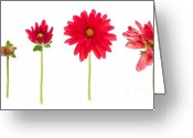 Dahlia Greeting Cards - Life And Death Of A Dahlia Greeting Card by Meirion Matthias