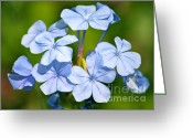Beautiful Flowers Greeting Cards - Light Blue Plumbago Flowers Greeting Card by Carol Groenen